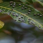 anthracnose tree leaf disease