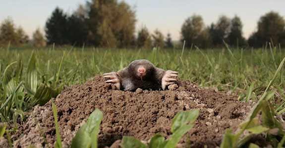 Mole Control Treatment