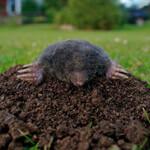 mole control service