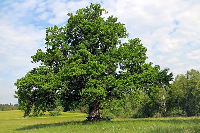 oak wilt disease