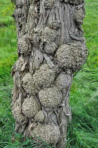 Black locust tree trunk