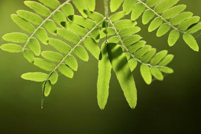 Locust tree diseases