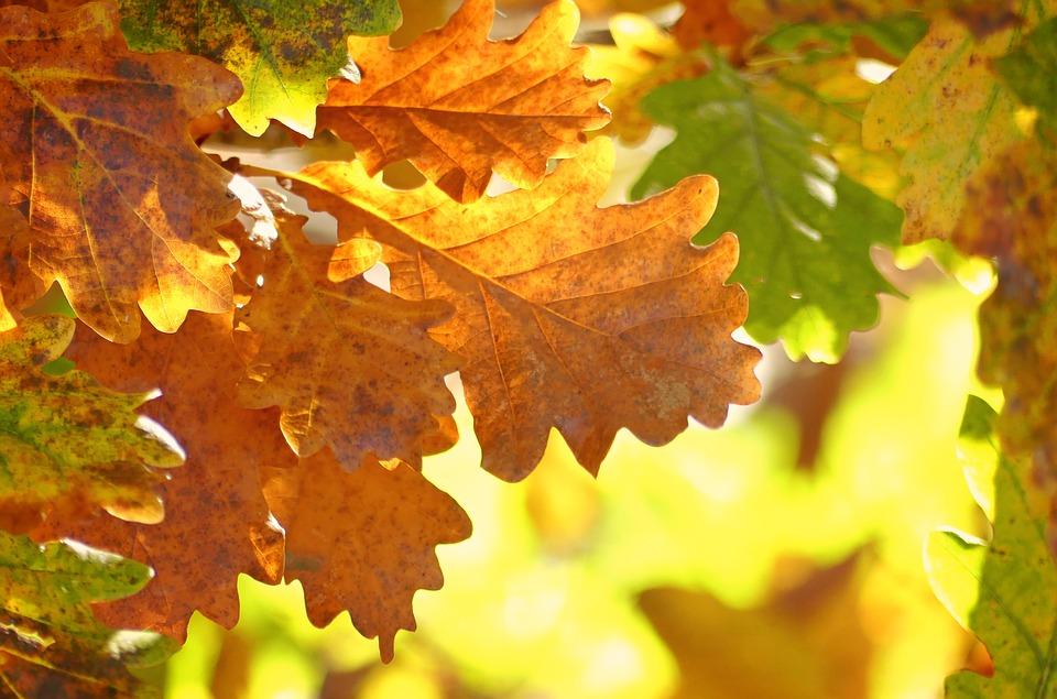 Oak tree diseases