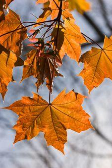 maple tree diseases